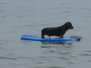 surfing dog in wales