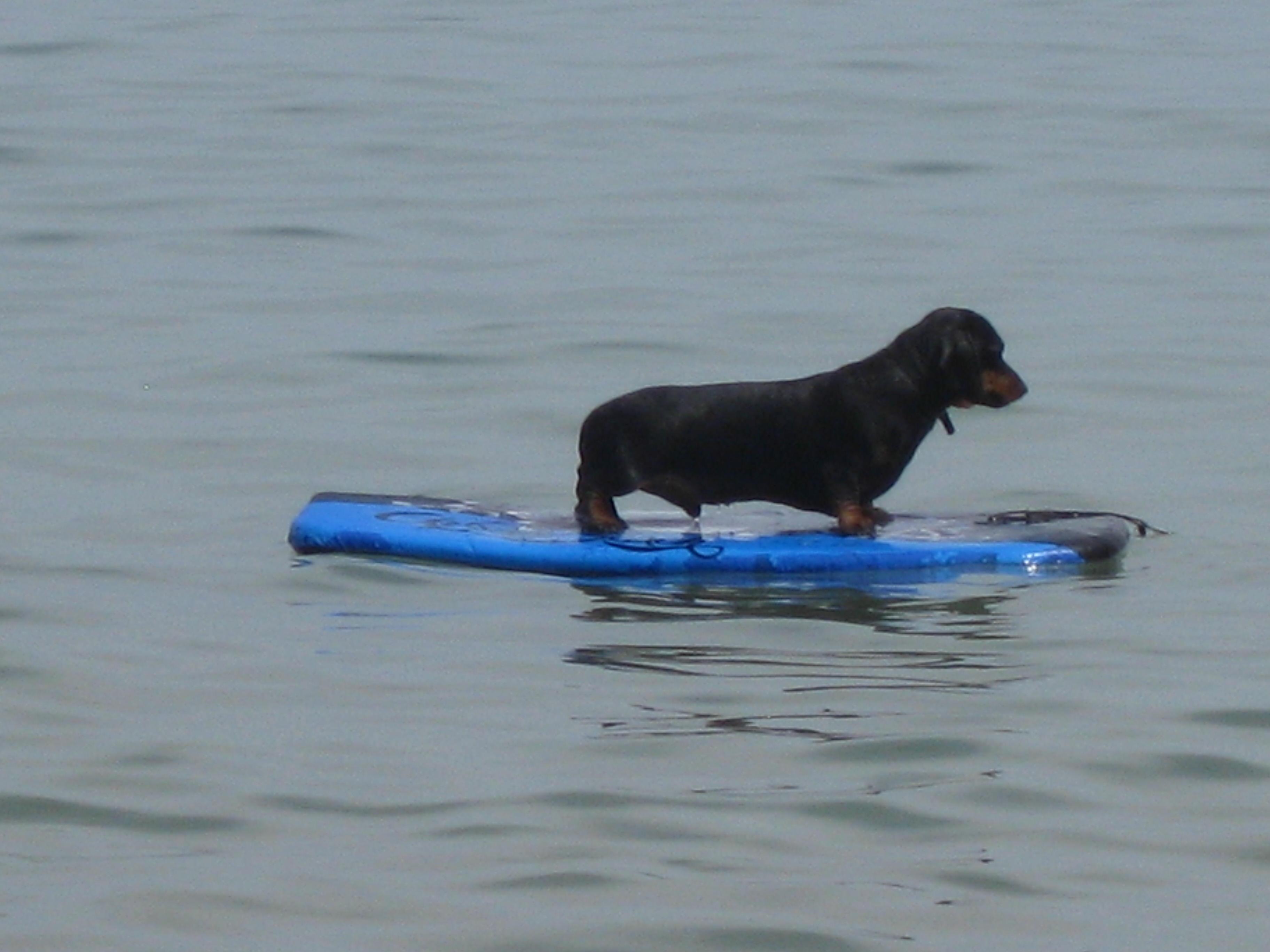 surfing dog. copyright Gretta Schifano