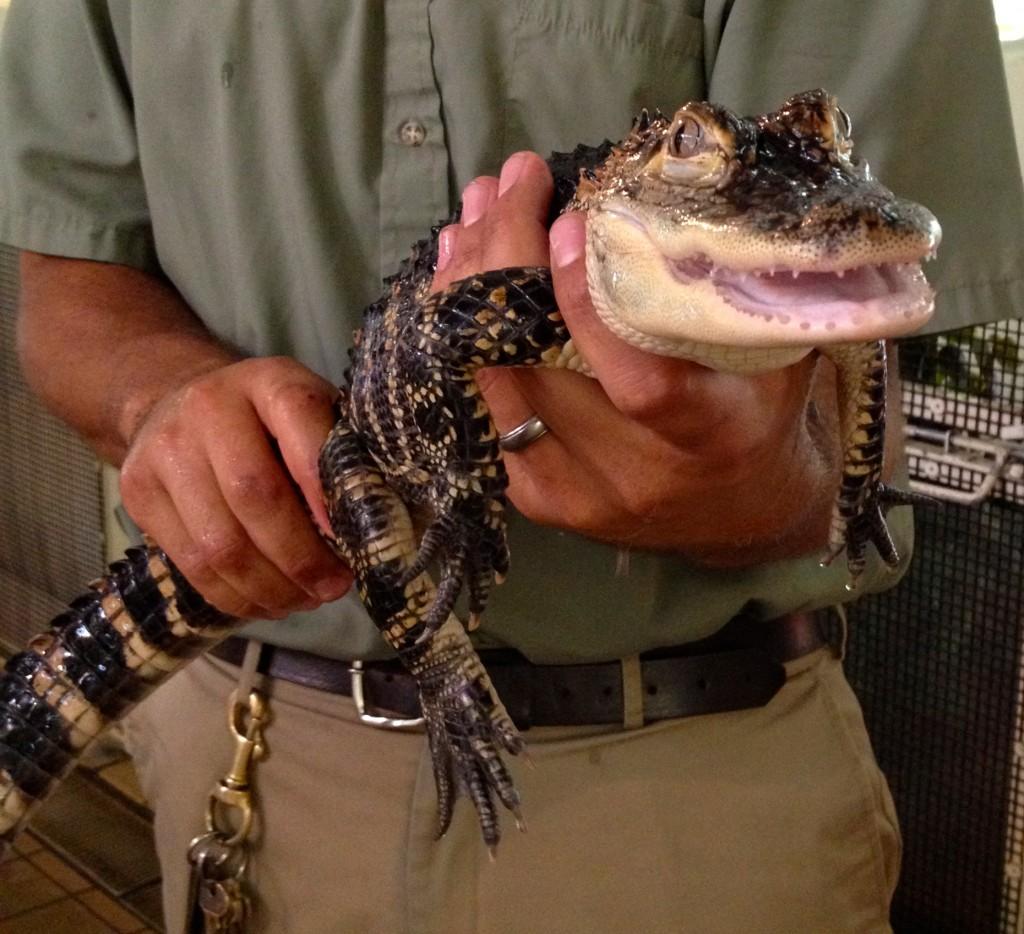 Alligator, Busch Gardens. Copyright Gretta Schifano