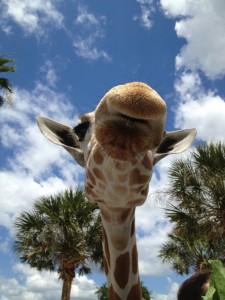 Giraffe, Busch Gardens. Copyright Gretta Schifano