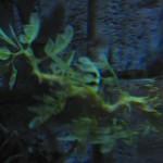 Sea dragon, SeaWorld Orlando. Copyright Gretta Schifano
