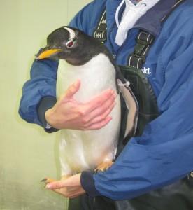 Penguin, SeaWorld Orlando. Copyright Gretta Schifano