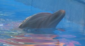 Dolphin, SeaWorld Orlando. Copyright Gretta Schifano