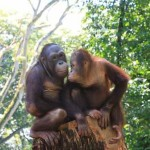 Orang utans at Singapore Zoo. Copyright Singapore Tourism Board