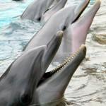 SeaWorld dolphins. Copyright Gretta Schifano