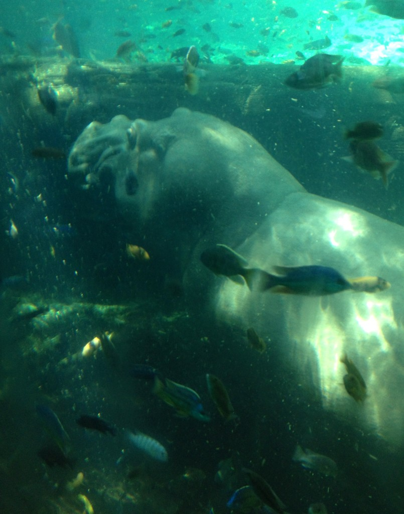 Hippo underwater, Disney's Animal Kingdom. Copyright Gretta Schifano.