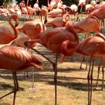 Flamingos. Copyright Gretta Schifano.