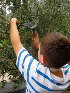Picking olives at Dionysos. Copyright Gretta Schifano