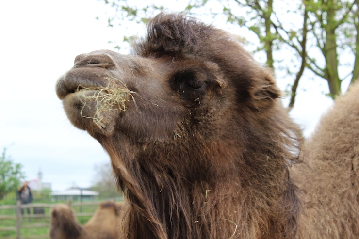 Camel, London Zoo. Copyright Gretta Schifano