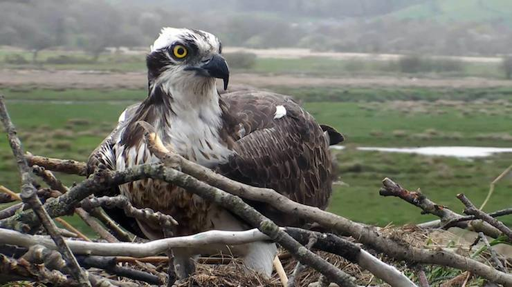Dyfi Osprey Project. Image courtsy of Montgomeryshire Wildlife Trust.