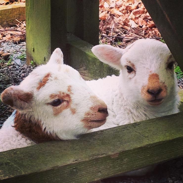 Lambs in Dôl Idris parkland. Copyright Gretta Schifano