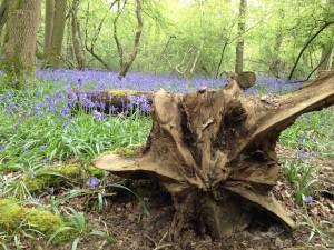 Staffhurst Wood. Copyright Gretta Schifano.
