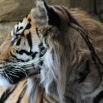 Tiger, London Zoo. Copyright Gretta Schifano