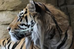 Tiger, London Zoo. Copyright Gretta Schifano