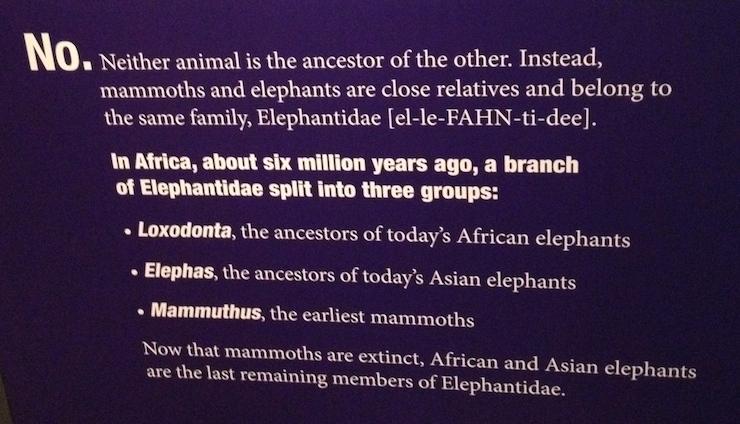 Display at Mammoths exhibition. Copyright Gretta Schifano.