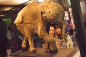 Lyuba the baby Mammoth, copyright Natural History Museum