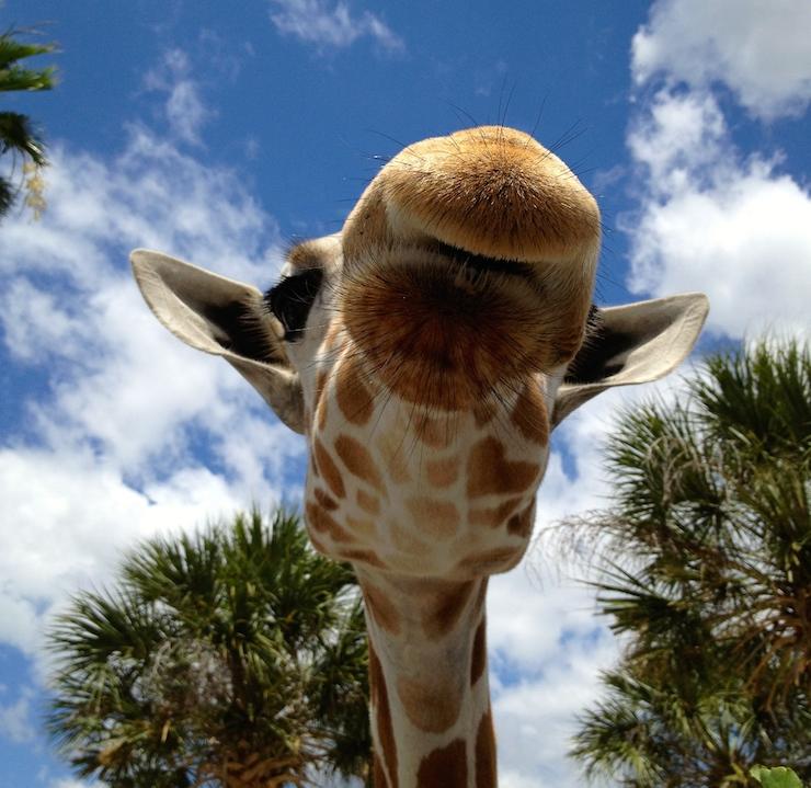Giraffe at Busch Gardens, Florida, USA. Copyright Gretta Schifano