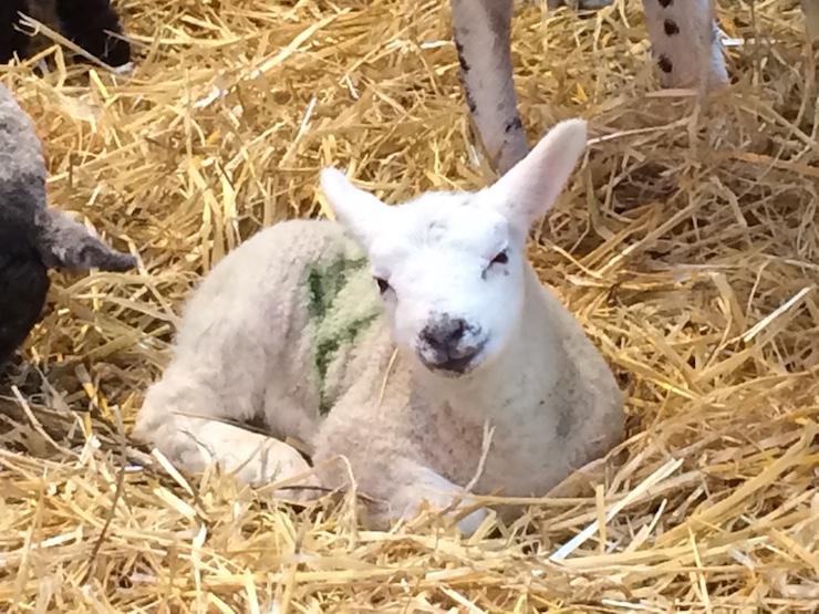 Lamb at Home Farm, Goodwood. Copyright Gretta Schifano