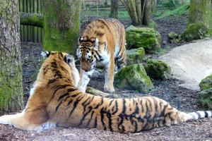Port Lympne tigers. Copyright Gretta Schifano