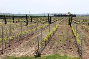 Gerovassiliou vineyard. Copyright Gretta Schifano
