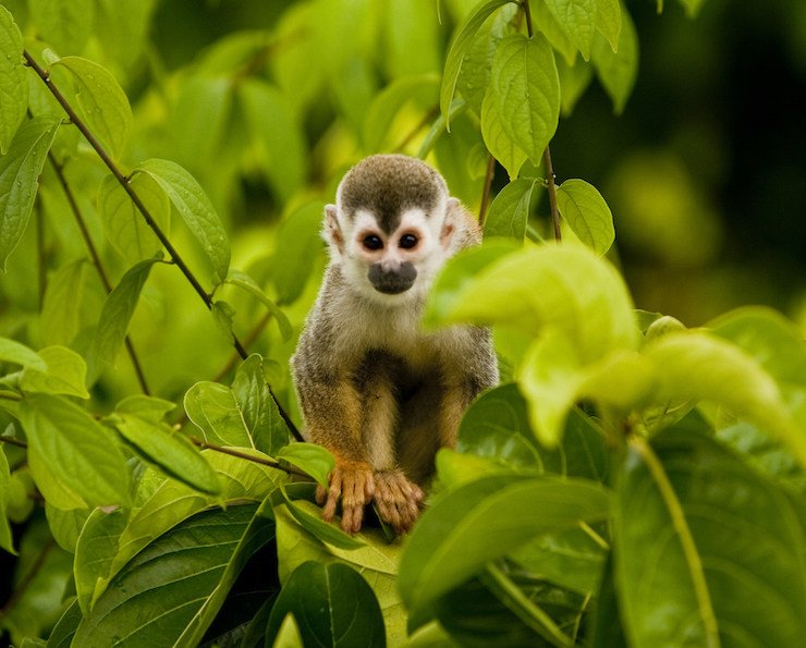 Monkey. Image courtesy of Parador Resort & Spa