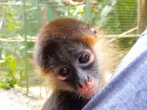 Isabella the baby rescue monkey, Projecto Asis, Costa Rica. Copyright Max Rolt Bacino