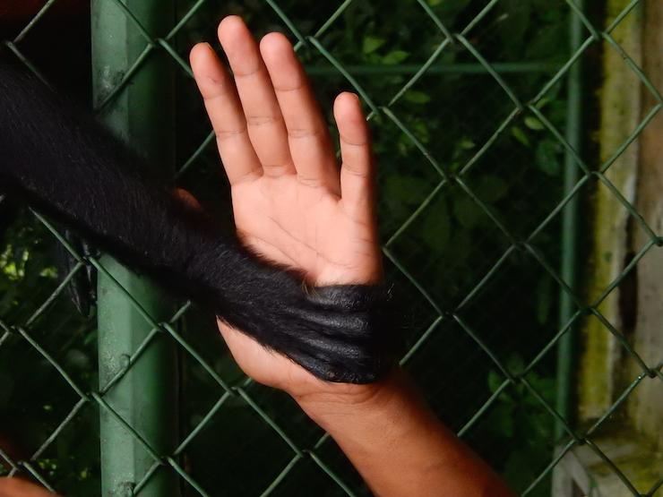 Monkey at Proyecto Asis, Costa Rica. Copyright Max Rolt Bacino
