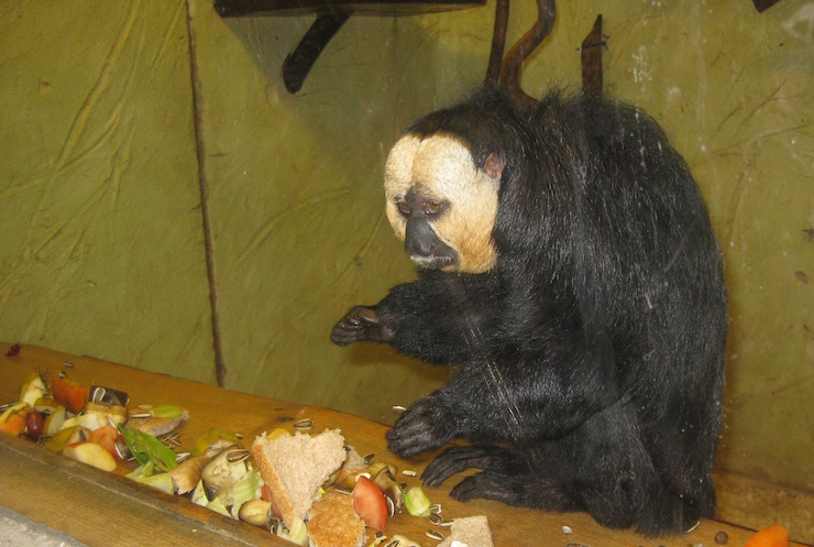 A saki monkey having his lunch, Drusillas Park. Copyright Sharmeen Ziauddin