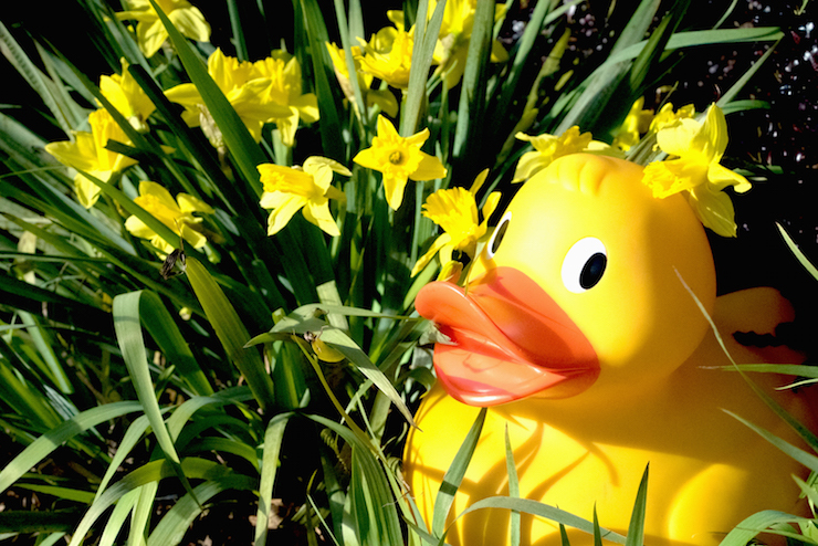 Duck in daffodils. Image courtesy of WWT London Wetland Centre