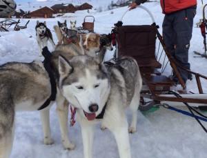Huskies. dog-sledding, Alpe d'Huez. Copyright Gretta Schifano