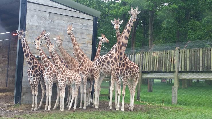 Giraffes, Woburn Safari Park. Copyright Sharmeen Ziauddin