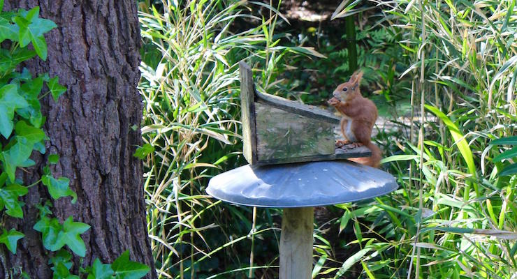 Red squirrel, Tresco Abbey Gardens, Isles of Scilly. Copyright Gretta Schifano