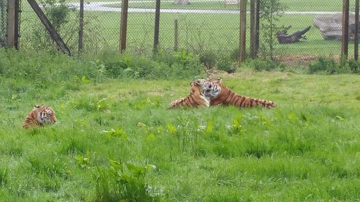 Tigers, Woburn Safari Park. Copyright Sharmeen Ziauddin