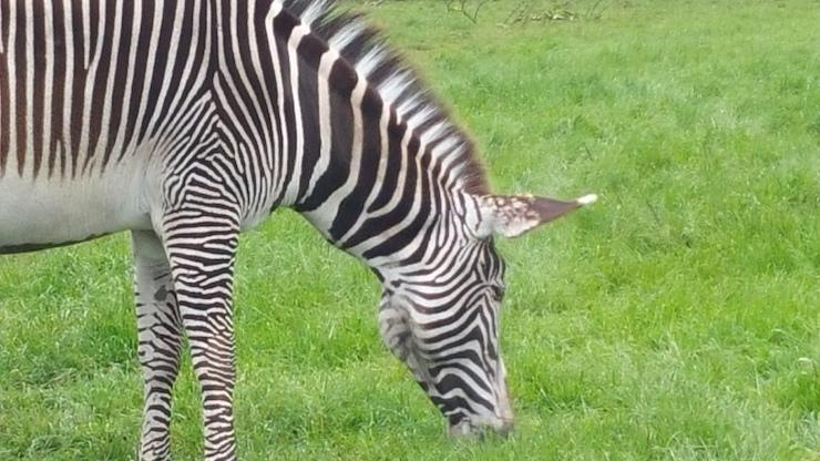 Zebra, Woburn Safari Park. Copyright Sharmeen Ziauddin