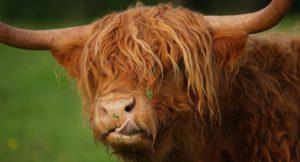Highland cow, Puzzlewood. Copyright Puzzlewood