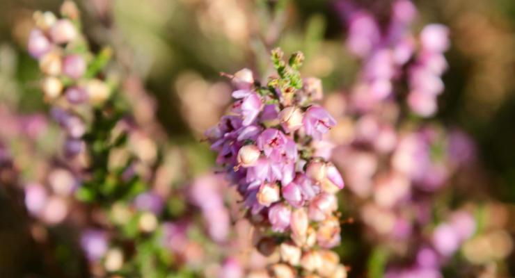 Heather, Ashdown Forest. Copyright Gretta Schifano
