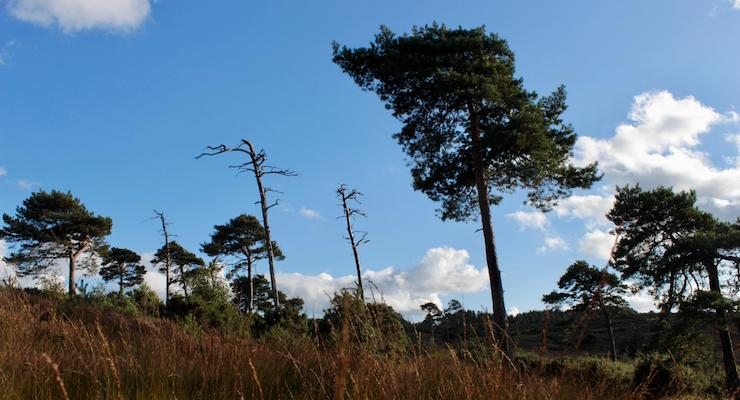 Pine trees, Ashdown Forest. Copyright Gretta Schifano