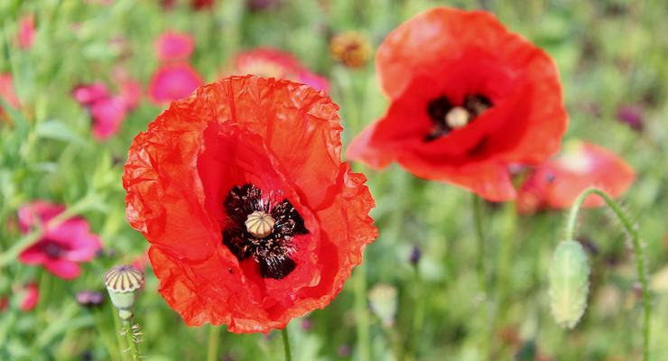 Poppy, Penshurst Place and Gardens. Copyright Gretta Schifano