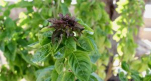 Herb garden, Messinian cooking class, Costa Navarino. Copyright Gretta Schifano