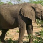 Elephant, Kruger National Park, South Africa. Copyright Lorenza Bacino