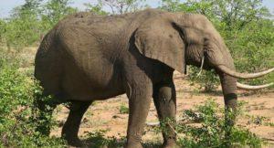 Elephant, Kruger National Park, South Africa. Copyright Lorenza Bacino
