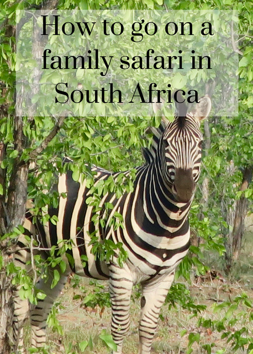 How to go on safari in Kruger National Park South Africa - advice for families with children and teenagers on how to do it, including places to stay, wildlife spotting and game drives. Click through for full review and details.