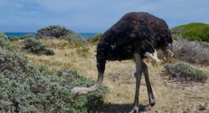 Ostrich, Cape of Good Hope Nature Reserve, Soith Africa. Copyright Max Rolt Bacino