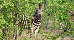 Zebra, Kruger National Park, South Africa. Copyright Lorenza Bacino
