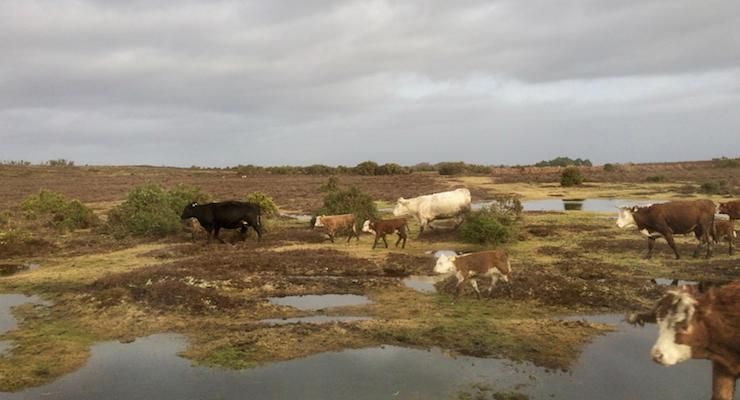 Cattle, New Forest. Copyright Gretta Schifano