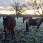 New Forest ponies. Copyright Gretta Schifano