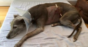 Our dog the day after she was atacked. Copyright Gretta Schifano