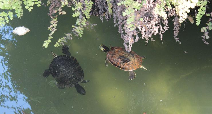 Turtles, Tavira, Algarve, Portugal. Copyright Gretta Schifano