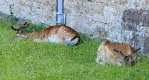 Deer resting next to Knole house, Kent. Copyright Gretta Schifano