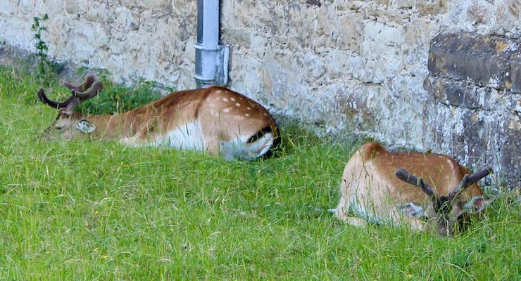 Deer resting next to Knole house, Kent. Copyright Gretta Schifano